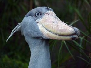 WTF Evolution - Shoebill