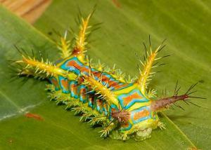 WTF Evolution - Wattle Cup Caterpillar
