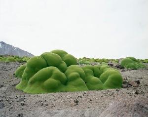 La Llareta (up to 3,000 years old; Atacama Desert, Chile)