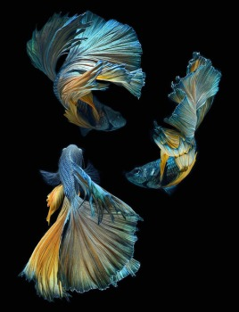 Fighting fish - Visarute Angkatavanich (Blue)