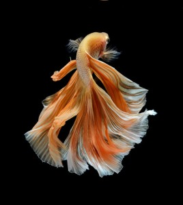 Fighting fish - Visarute Angkatavanich (Orange)