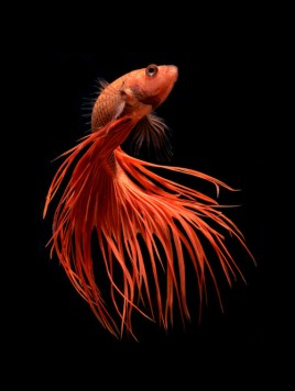 Fighting fish - Visarute Angkatavanich (Red)